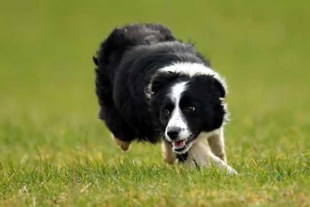 Megan, a világ legdrágább pásztorkutyája