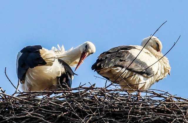 Megérkeztek az első gólyák Körmendre