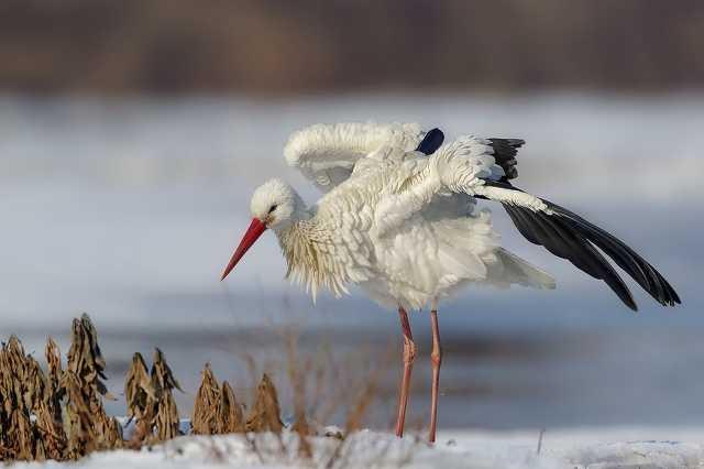 téli gólya