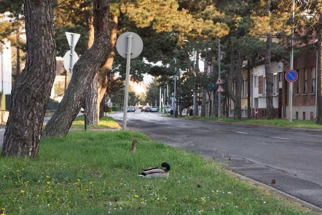 Kacsák a Paragvári utcában