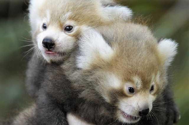 Nyíregyházi bébipandák