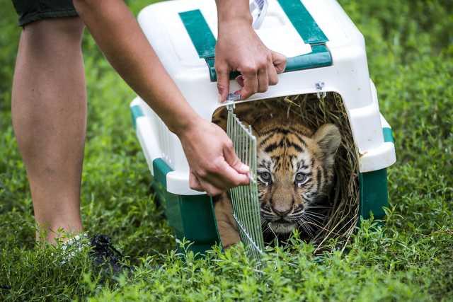 Szibériai tigris érkezett a veszprémi állatkertbe