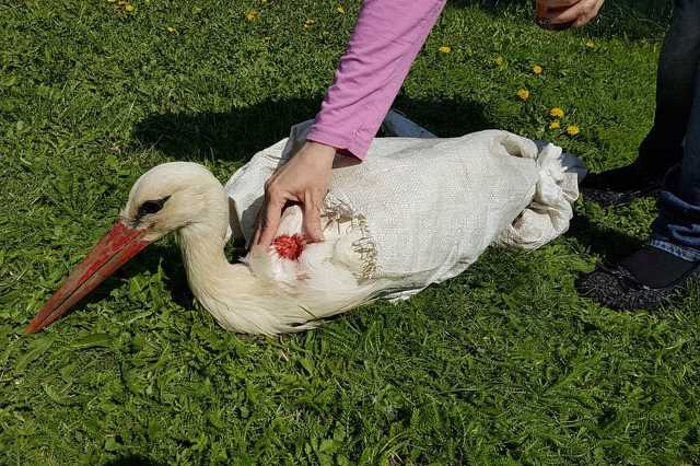 Lelőtt gólya