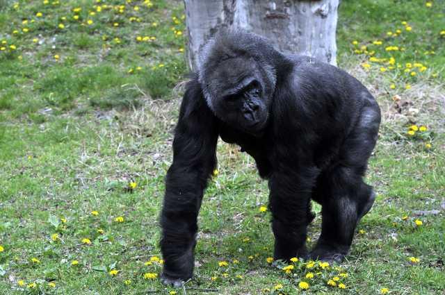 Gyümölcstortával köszöntik 40. születésnapján Lieselt, a Fővárosi Állat- és Növénykert nőstény gorilláját