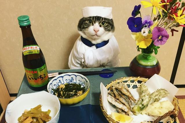 Szakács macska