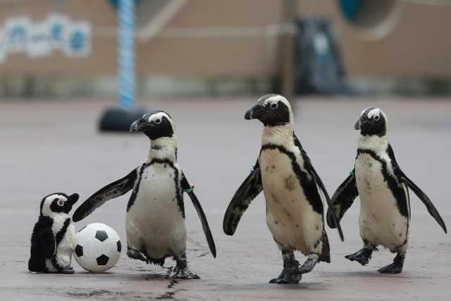 Pingvin Vb
