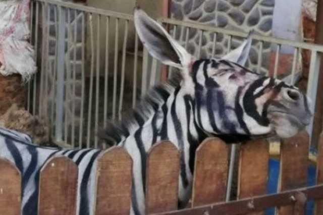 Csíkosra festett szamár a kairói állatkertben