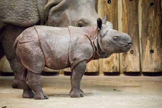 Indiai páncélos rinocéroszborjú