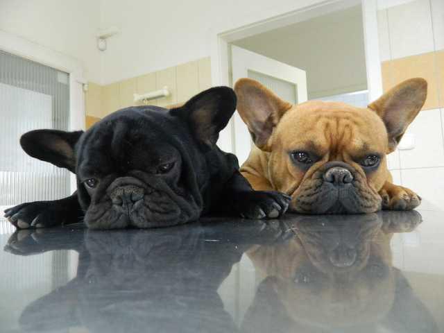 Állatkórház - Nyomott orr szindróma