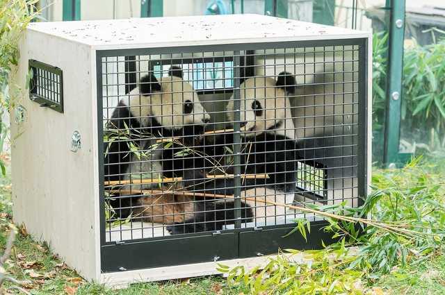 Fu Feng és Fu Ban a szállítóketrecében