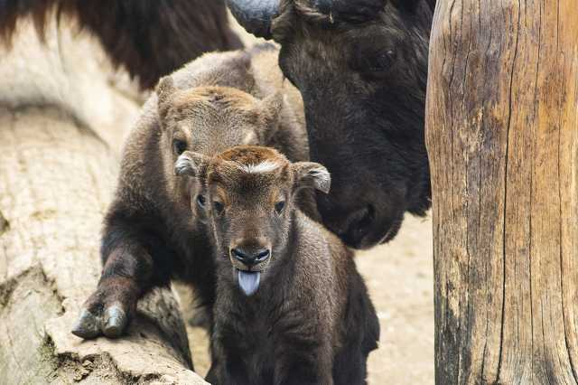 Két mishmi takin született a Nyíregyházi Állatparkban