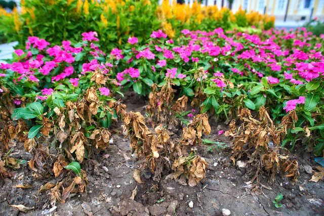 Elszáradt növények a Berzsenyi téren