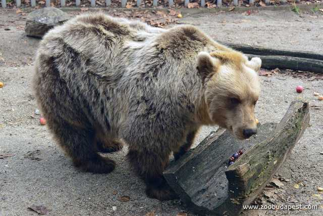 Balu, a medve