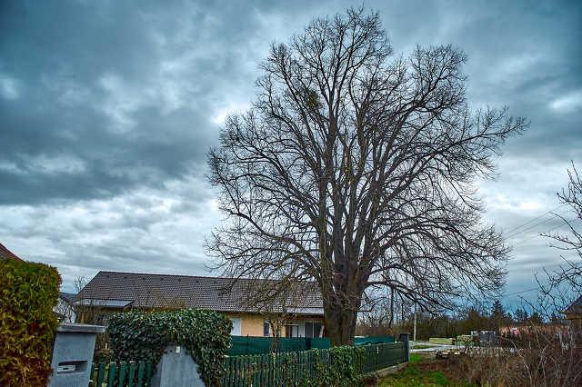 Vadász utcai hársfa