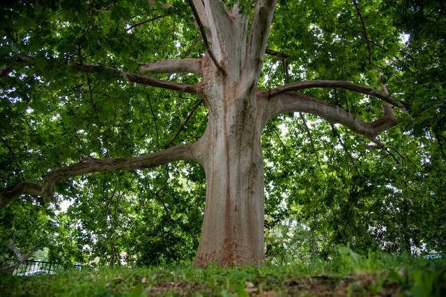 Év fája a Pelikán parkban