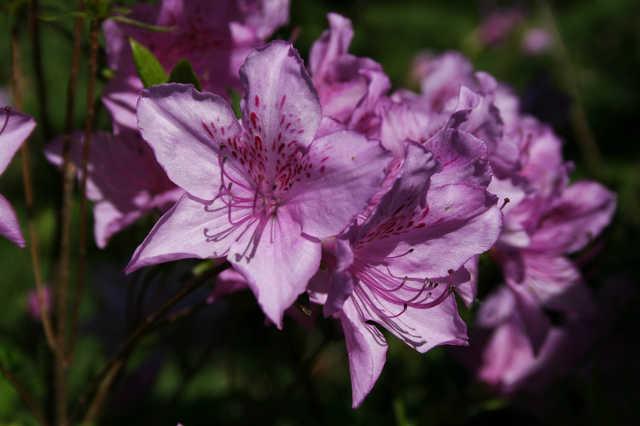 Rododendron virágzás a Jeli arborétumban