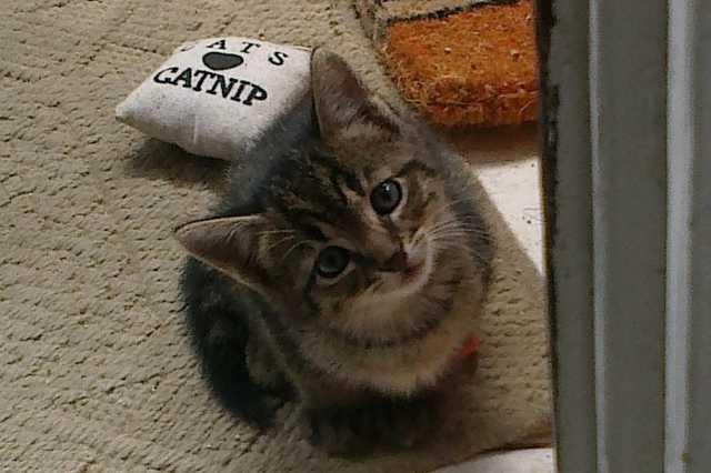 Bunyó cica, aki szeret vadászni és kergetőzni, de még jobban szeret a gazdi ölében elaludni.