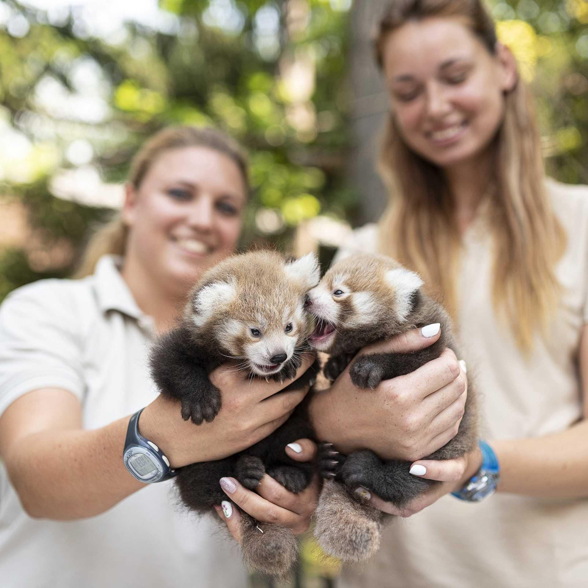 Vörös macskamedveikrek a Nyíregyházi Állatparkban