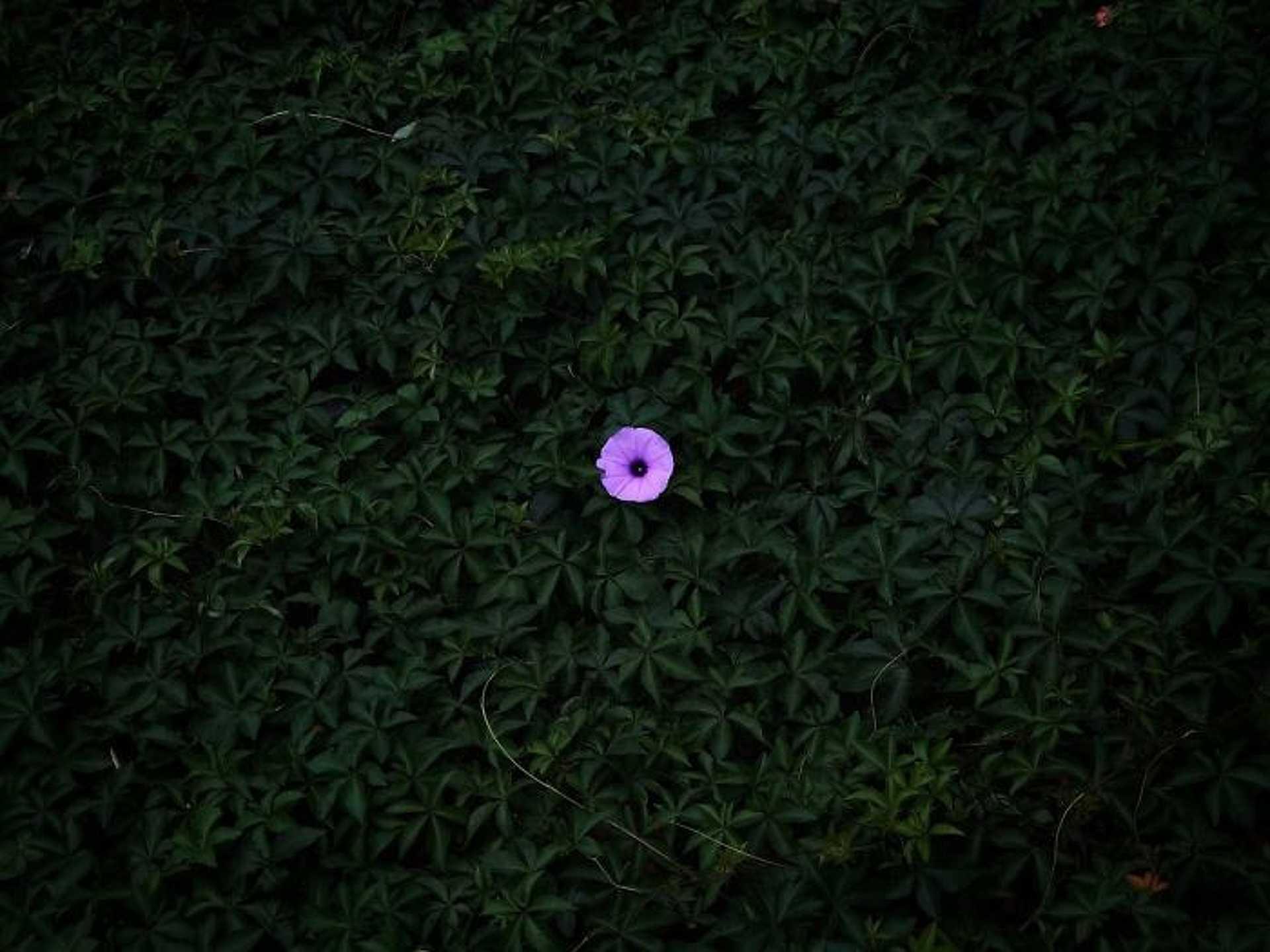 Virág - Peiquan Li: 'Lonely Morning Glory'