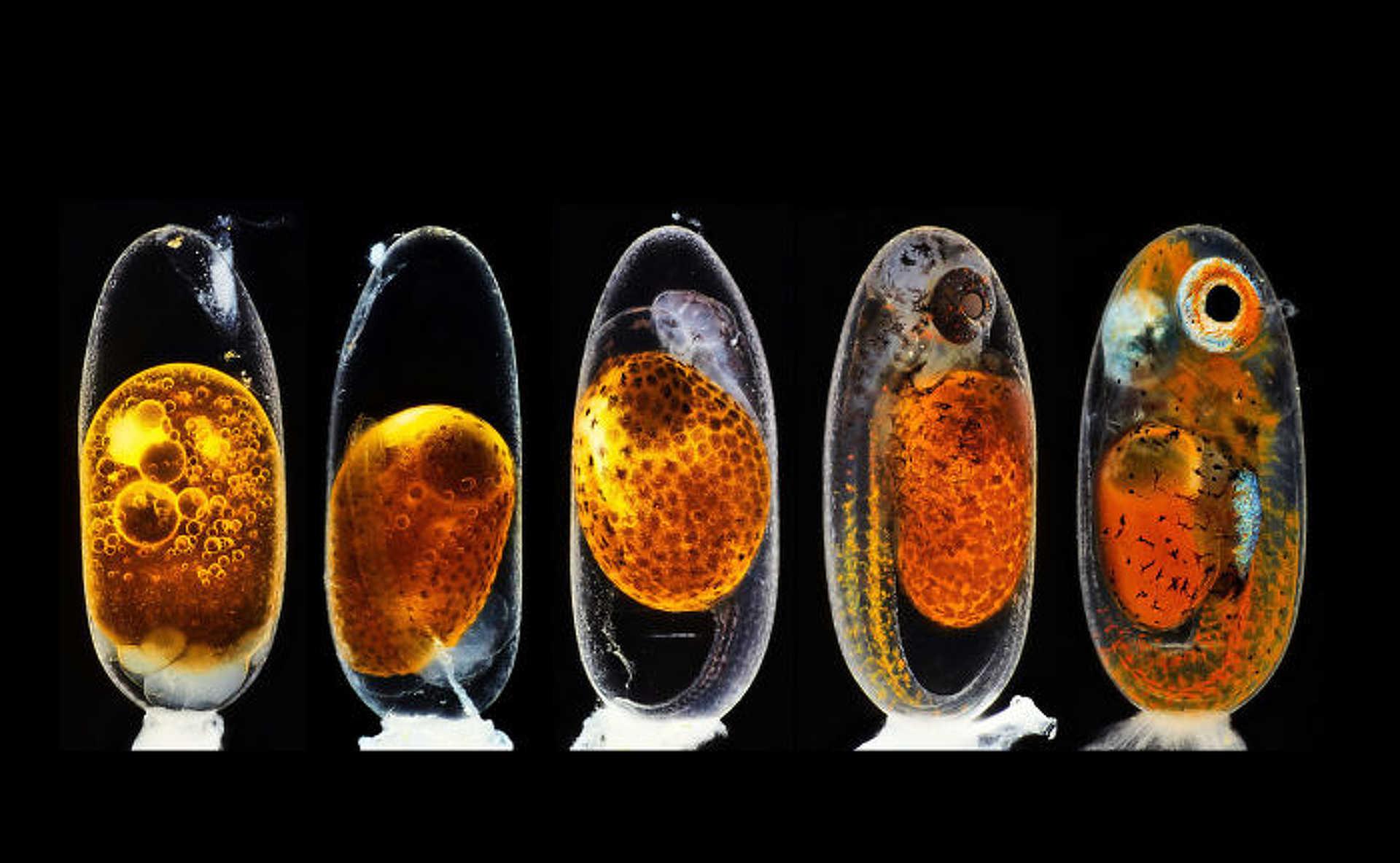 2. hely: A bohóchal embrionális fejlődésének 1., 3., 5. és 9. napja