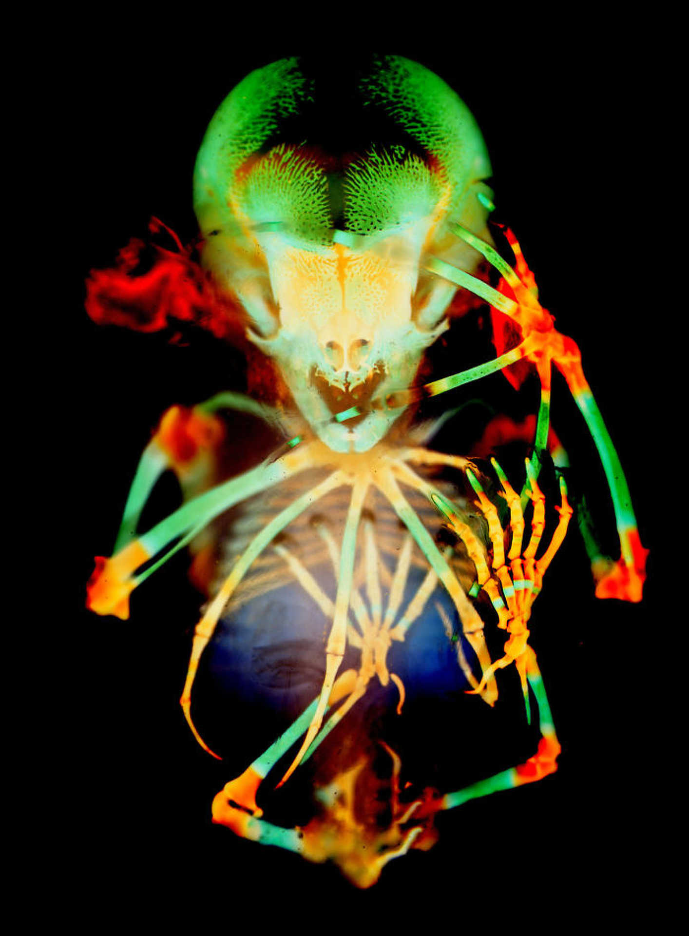 20. hely: Rövidfarkú gyümölcs denevér-embrió csontváza
