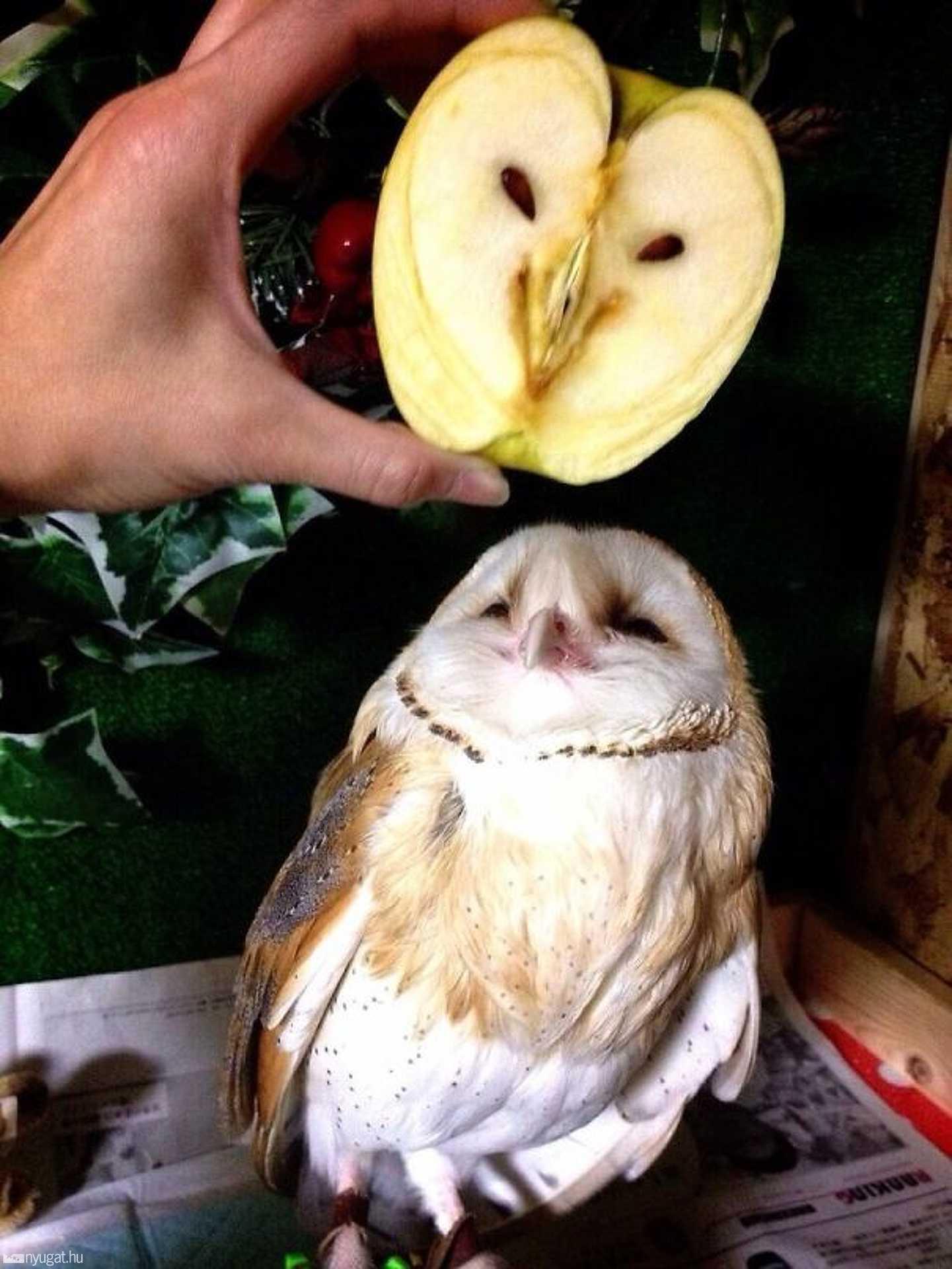 Mintha a bagolyról mintázták volna az almát