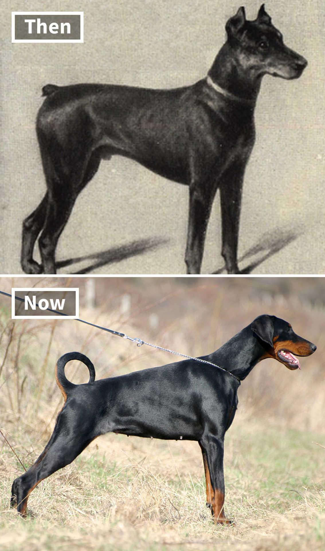 Kutyák 100 éve és most